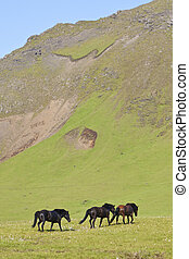 Icelandic Horses In A Flax Filled Field