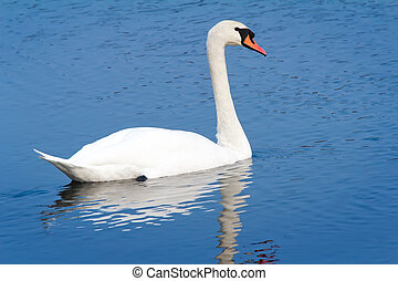 White Swan on blue water of the lake.