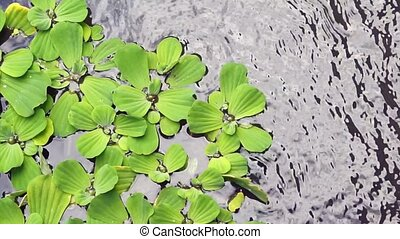 Pistia, water lettuce, water plant background