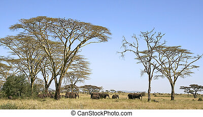 Elephants Loxodonta africana in Serengeti National Park,...