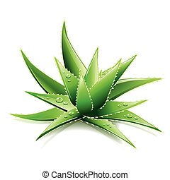 Aloe Vera isolated on white vector - Aloe Vera isolated on...