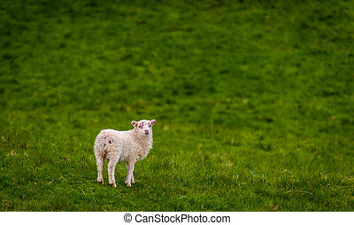 A lamb on a field of grass, Iceland