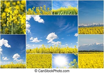 Colza collage - A collection of blooming rapeseed field...