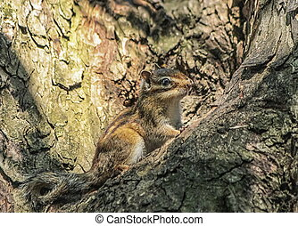 Siberian or common chipmunk squirrel, eutamias sibiricus