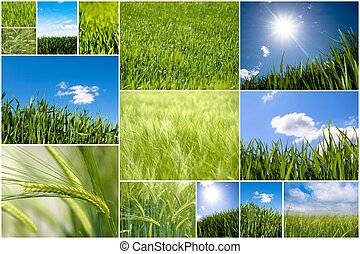 Green wheat collage - Collection of green wheat field...