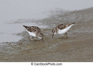 Least Sandpipers Foraging on a Mudflat - Texas - Least...