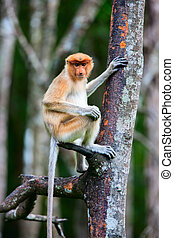Proboscis monkey on tree - Female proboscis monkey in a wild...