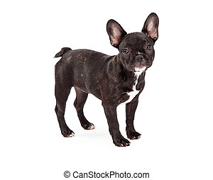 Well Trained French Bulldog Standing - Well trained French...