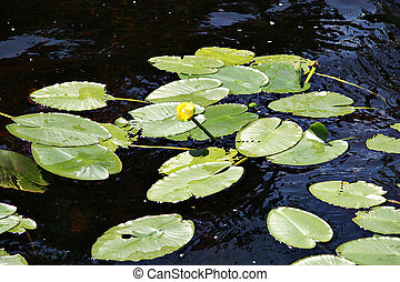 Lily Pads in Pond with flower