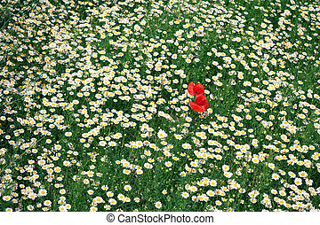 Corn poppy flower in the large field of daisies
