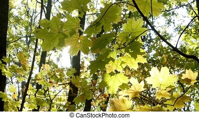 Rainbow rays sun, yellow maple leaf