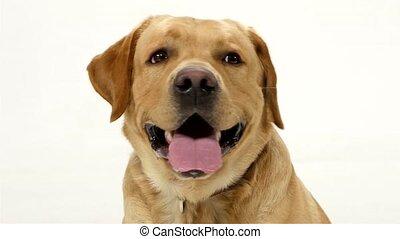 Close-up of a yellow Labrador Retriever dog with a happy...