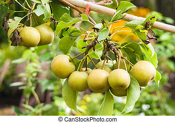 Asian Pears on fruit tree - Asian pears on a fruit tree in...