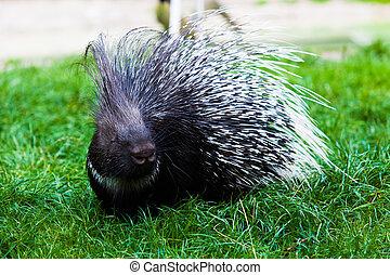 Porcupine, ,