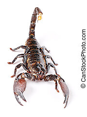 Scorpion isolated on white background.