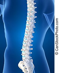 human spine - 3d rendered illustration of a male body shape...