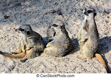 Meerkats sitting in the sand in a zoo