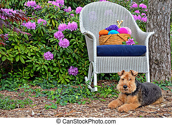 Welsh terrier with yarn basket - Welsh terrier with colorful...