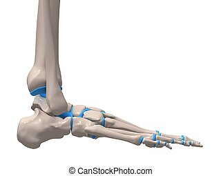 skleetal foot - 3d rendered illustration of a human skeletal...