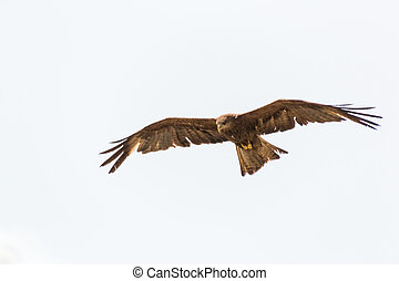 Amora in flight - Black Kite which is locally known as...