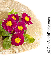 Spring flower primula in the straw hat isolated