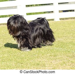 Lhasa Apso - A small young black Lhasa Apso dog with a long...