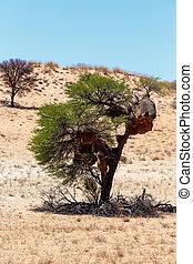 African masked weaver big nest on tree, african landscape,...