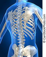 skeletal back - 3d rendered illustration of a human skeletal...