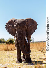 African Elephant in Caprivi Game Park - Portrait of African...