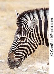 Zebra portrait Burchells zebra, Equus quagga burchellii...