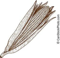 woodcut illustration of corn - vector vintage retro...