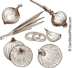 engraving illustration of onion - engraving vector...