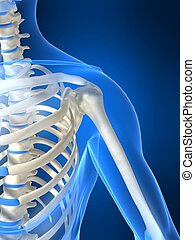 skeletal shoulder - 3d rendered illustration of a human...