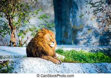 lion on a stone - large lion lying on a stone in the park