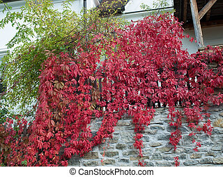Parthenocissus - Decorative Parthenocissus on the wall and...