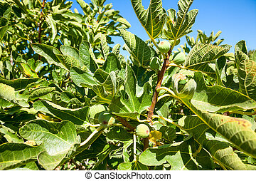 Ripening Common fig fruit - Leaves and immature fruit of a...