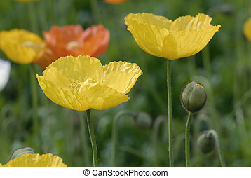 Poppy flower - Yellow and orange poppy flower