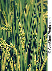 Oryza sativa, Rice Crop - Rice is the seed of the monocot...