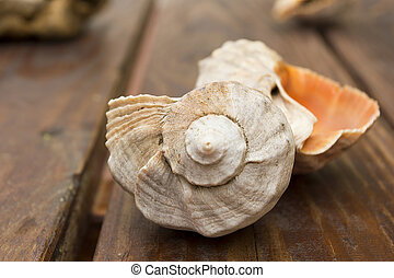 Rapana - Clam shell Rapa used as decoration of apartments.