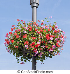Red and pink Geranium basket on lamppost - Basked with pink...