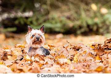 Yorkshire terrier Dog - Yorkshire Dog on the autumn leaves
