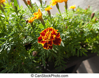 Tagetes patula flower-plant  in our garden
