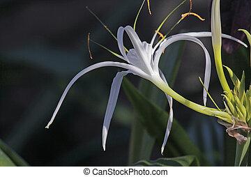 Spider lily, Beach spider lily, Hymenocallis littoralis -...