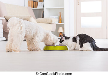 Dog and cat eating food from a bowl - Little dog maltese and...