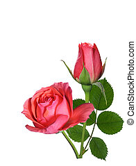 Rose flower, bud and leaf isolated on white background