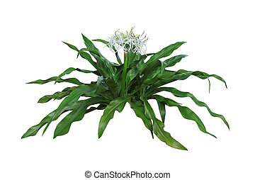 Giant Spider Lily Sumatra Crinum flower plant isolated on...