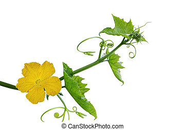 Loofah Flower and Leaf - Loofah luffa Flower and Leaf...