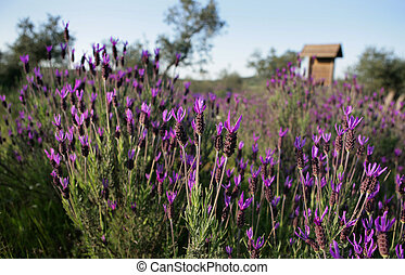 lavender - The genus includes herbaceous annual or short...