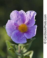 Cistus albidus - The Cistus albidus is a shrub of 5 to 10 cm...