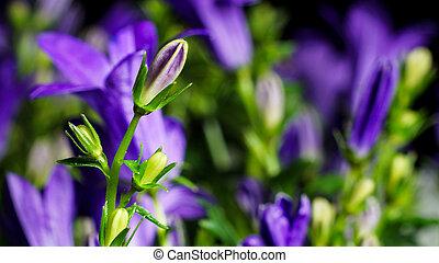 Bellflower (Campanula) - Close up detail of a bellflower...